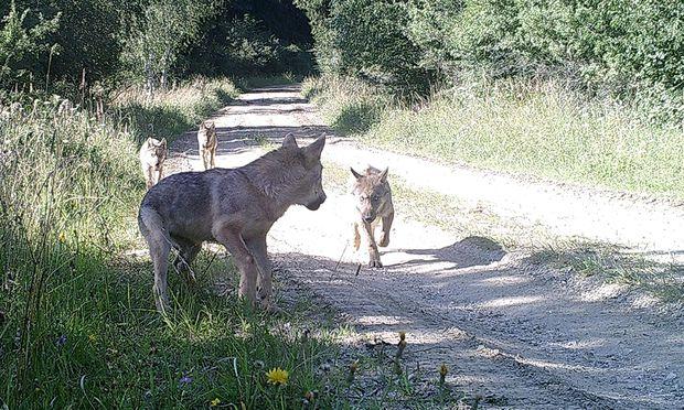 Erster heimischer Wolfnachwuchs seit über 100 Jahren gesichtet