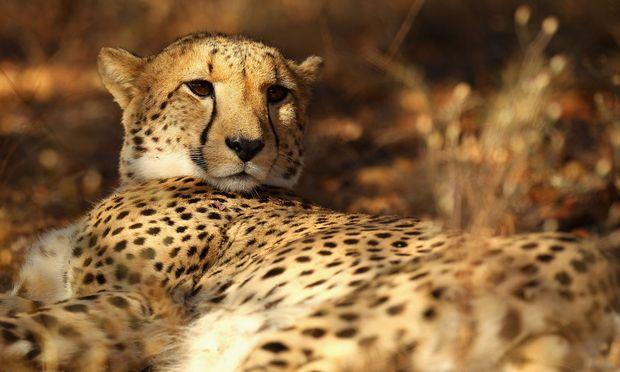 Seltene Exemplare in den Reservaten, noch seltener auf freier Wildbahn: Geparden und Löwen. In Südafrika lassen sich im Phinda Private Game Reserve und im Kwandwe-Wildreservat Großkatzen – und ihre Beute – beobachten.