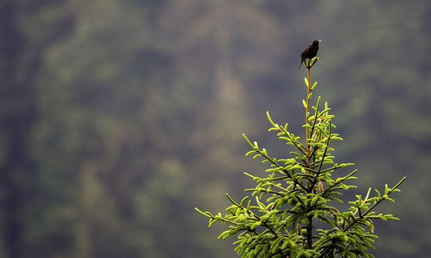 Ein zunehmend seltenerer Gast: Aus jedem fünften Garten sind die Amseln wegen des Usutu-Virus verschwunden.