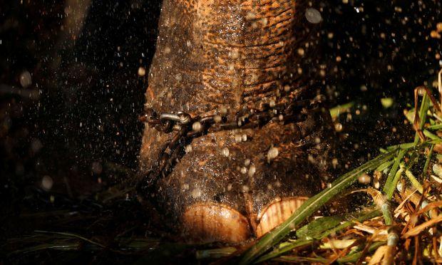Elefant an der Kette