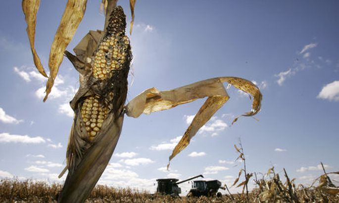 **ADVANCE FOR MONDAY, DEC. 10** An ear of corn sits on a stock as Tim Recker harvests a field, Wednes