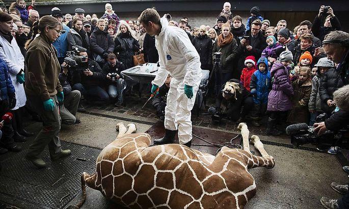 Vor zahlreichen Zoo-Besuchern zerlegten die Ärzte des Kopenhagener Zoos den Kadaver von Giraffe Marius.