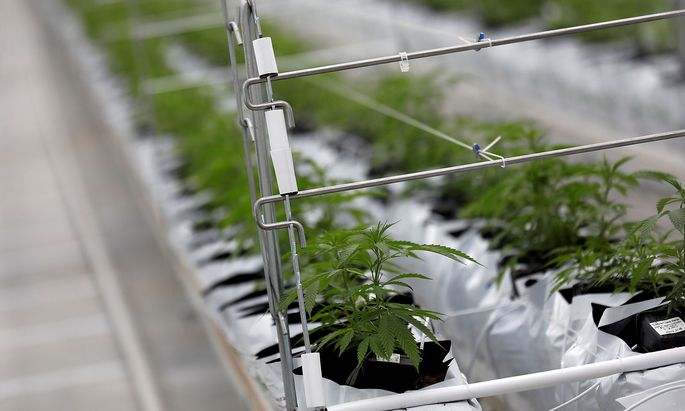 FILE PHOTO: Cannabis plants grow inside the Tilray factory in Cantanhede