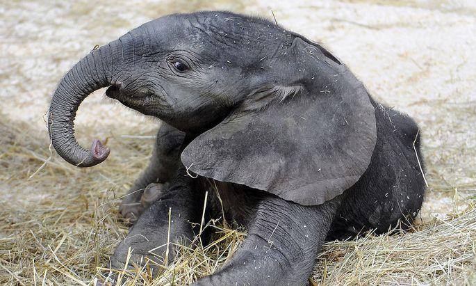 Haben junge Elefanten eigentlich einen Grünrüssel?