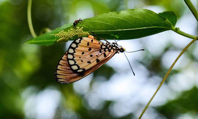Dramatisch viele Schmetterlings-Arten sind mittlerweile aus den Salzburger Landschaften verschwunden.