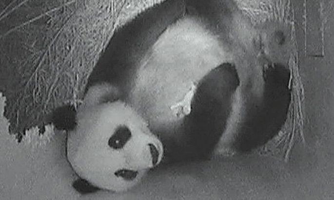 Schoenbrunner PandaBaby entwickelt sich