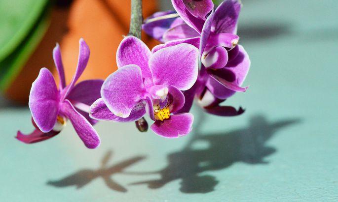Orchideen zu ziehen, ist keine Hexerei.