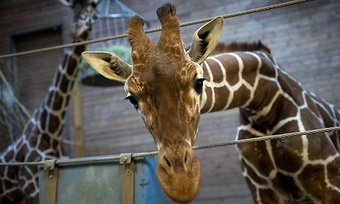 Giraffe Marius wurde im Kopenhagener Zoo 18 Monate alt.