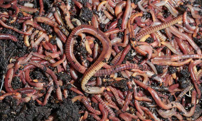 Kompostwürmer (Symbolbild)