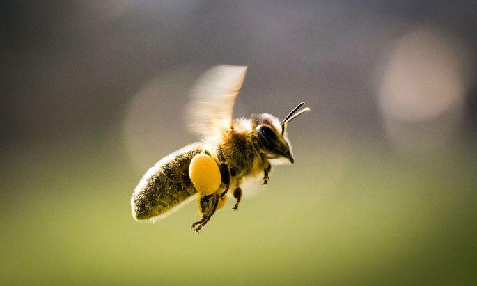 Österreicher sind Fans der Honigbiene