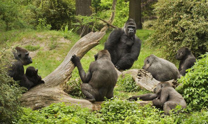 Bei Gorillas regieren Silberrücken Harems. Aber wenn ihre Haut Krankheit verrät, wandern Weibchen ab.
