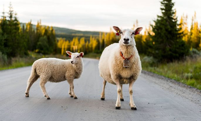 Sheep grazing in the mountains freely near the Norwegian town Gol are standing on the road Norway