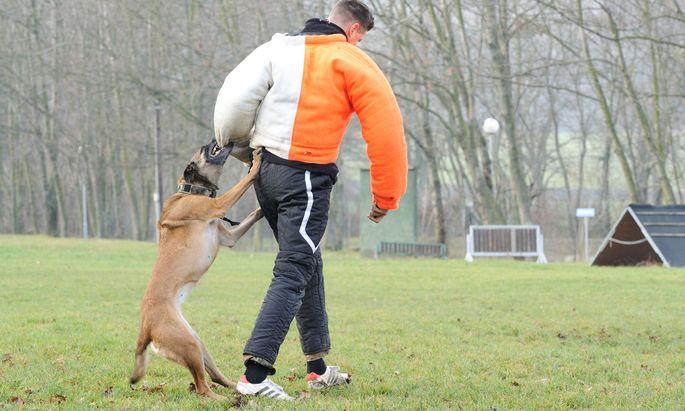 Ein Belgischer Schäferhund wird im Militärhundezentrum trainiert.