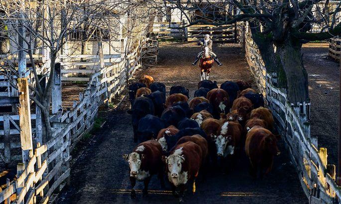 Rinder werden auf den Markt in Buenos Aires, Argentinien, getrieben.
