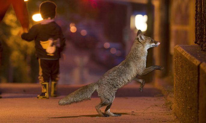 Ein Fuchs in Ottakring.