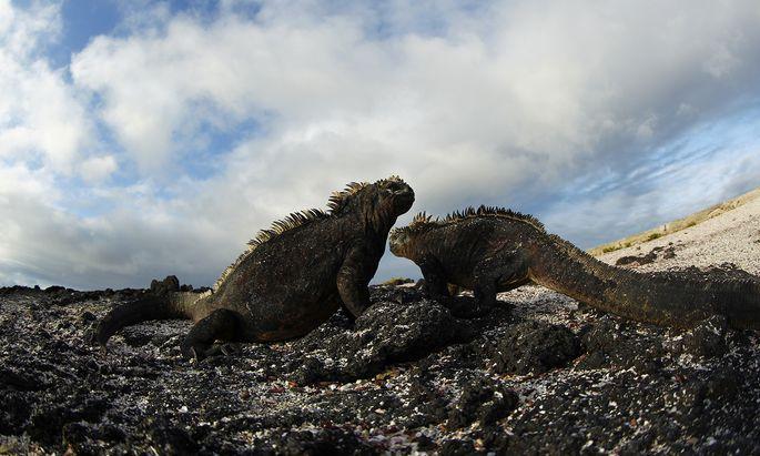 Seit einer Million Jahren entstehen auf Galapagos regelmäßig neue Inseln. Die jüngste ist 30.000 Jahre alt, dort finden fast jährlich Vulkanausbrüche statt.