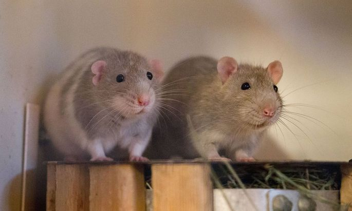 """Die goldene Regel des sozialen Zusammenlebens, """"Was du nicht willst, das man dir tu', das füg' auch keinem andern zu"""" trifft also Ratten genauso zu wie auf gesunde Menschen."""