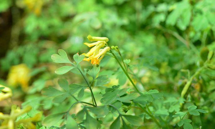Der Gelbe Lerchensporn, eine der wertvollsten Begleitpflanzen im Beet.