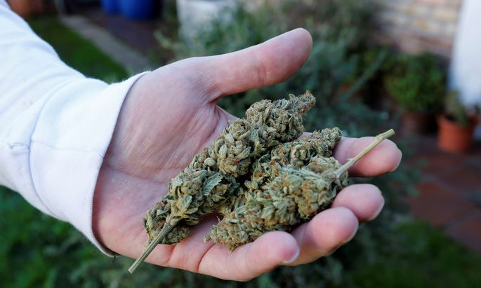 Home grower Charly shows marijuana buds in his house in Montevideo