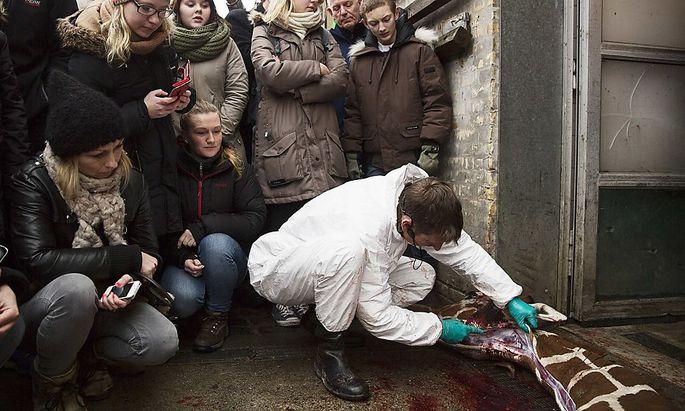 Marius wurde öffentlich autopsiert. Dort, wo der Kopenhagener Arzt im Bild herumschnippelt, werden auch österreichische Forscher tätig.