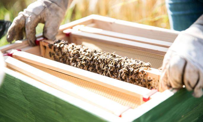 Ein Imker kontrolliert seinen Bienenstock und hat eine Wabe mit seinem Bienenvolk in den Händen (Symbolbild).