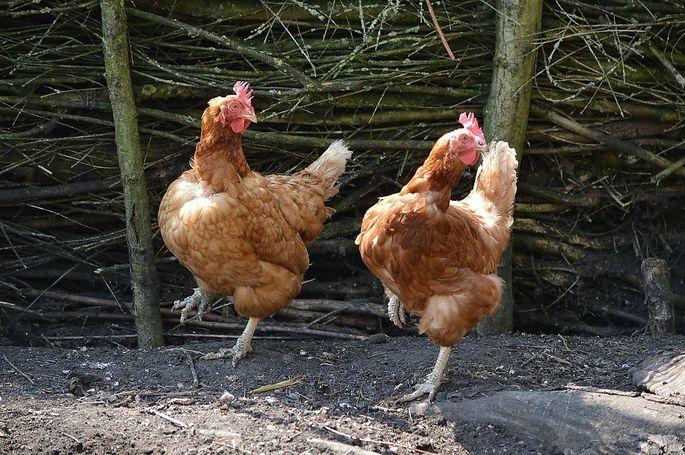 Hühner mögen keinen Beton, sie brauchen Erde zum Scharren.