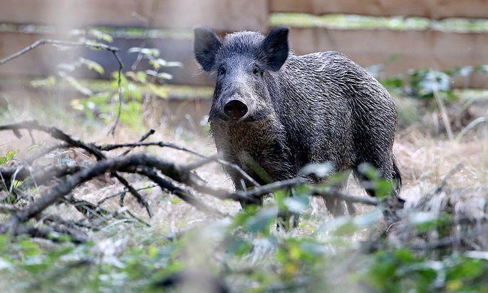 Jagdhundschule f�r die Wildschweinjagd