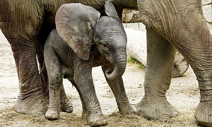 Schoenbrunn Elefantenbaby Mittwoch bewundern