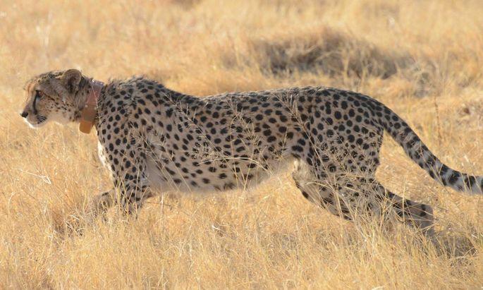 Acinonyx jubatus - Gepard