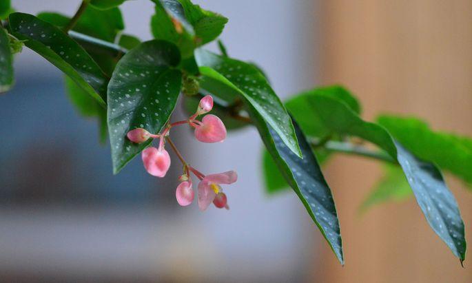 """Die Forellenbegonie, auch Begonia maculata """"Tamaya"""" genannt."""