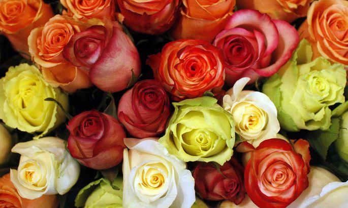 Rosen sind das klassische Geschenk zum Valentinstag.