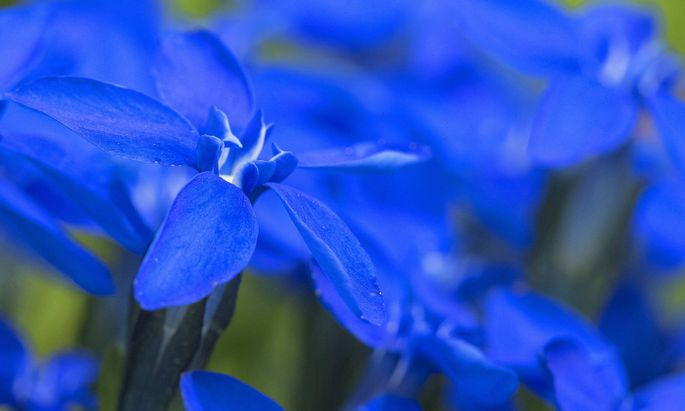 Enziane blühen blau.
