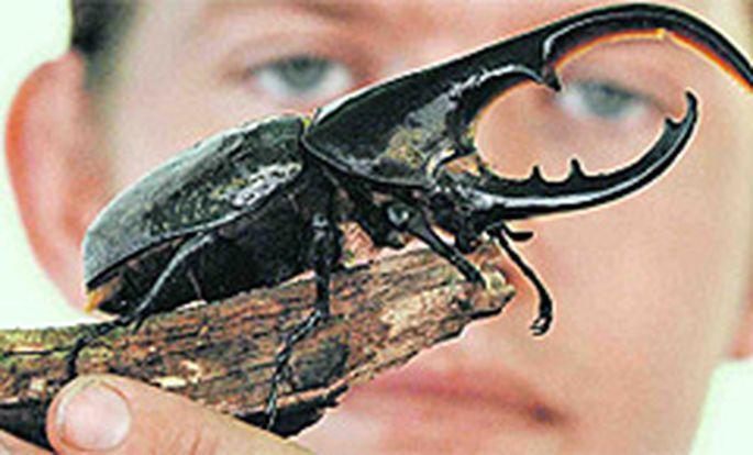 Der Herkuleskäfer, mit 17 Zentimetern heute eines der größten Insekten.