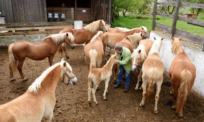 Auch heute noch werden Pferde auch gemolken: hier am Wegwartehof im Waldviertel.
