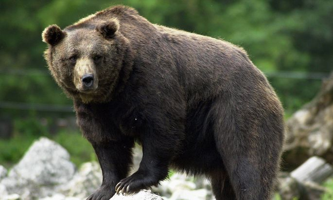 Symbolbild: Braunbär