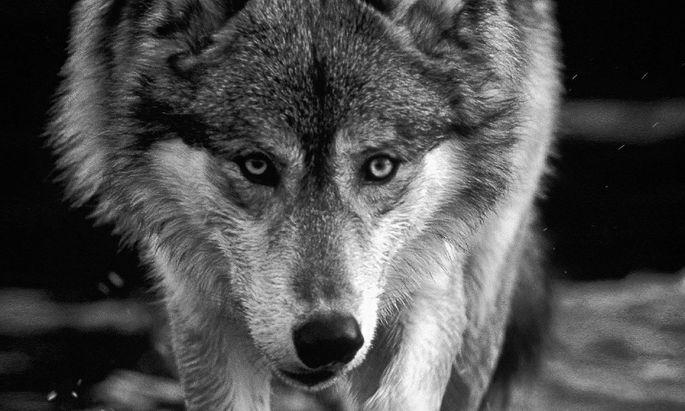 """Klaus Hackländer """"Er ist da. Der Wolf kehrt zurück"""" ,Ecowin, 224 Seiten, 24 €."""