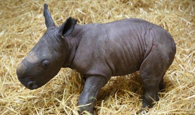"""Das erste Nashornbaby im Augsburger Zoo """"Kibo"""" wurde mit der Flasche groß gezogen"""