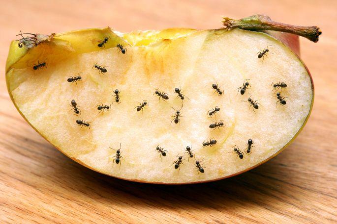 Ameisen auf Apfelstück