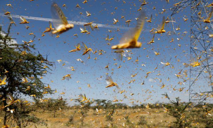So kamen sie im Frühjahr über Kenia, wie seit 70 Jahren nicht mehr. Der größte Schwarm maß 60 mal 80 Kilometer.