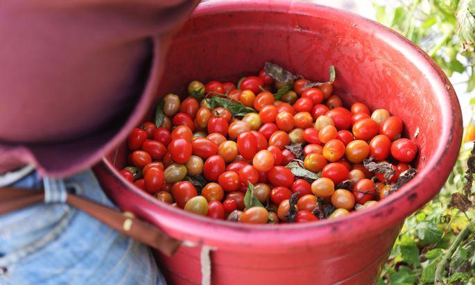 """Hunderte Kilo Tomaten würden jede Woche weggeworfen, weil sie die falsche Form haben und von Kunden nicht gekauft würden. """"Unverschwendet"""" rettet sie davor - zumindest einen Teil davon."""