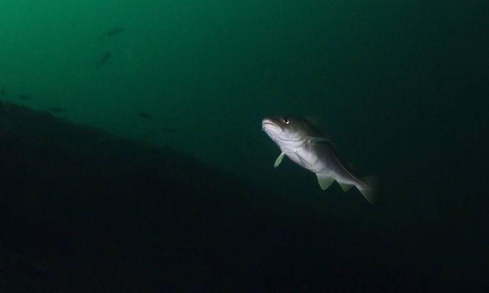Die Quecksilber-Belastung von Fischen aus arktischen Seen variiert stark.