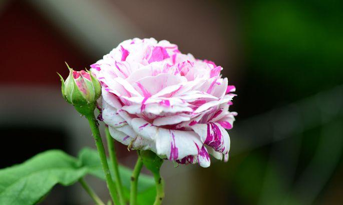 In Sachen Rosen ist es eindeutig noch zu früh für die Gartenschere.