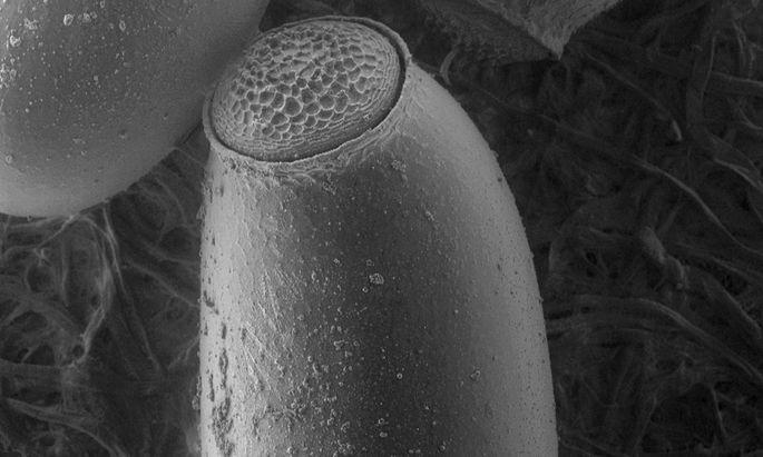 Wanzeneier verlieren ihre Kappe nach der Behandlung mit dem Wirkstoff (r.).