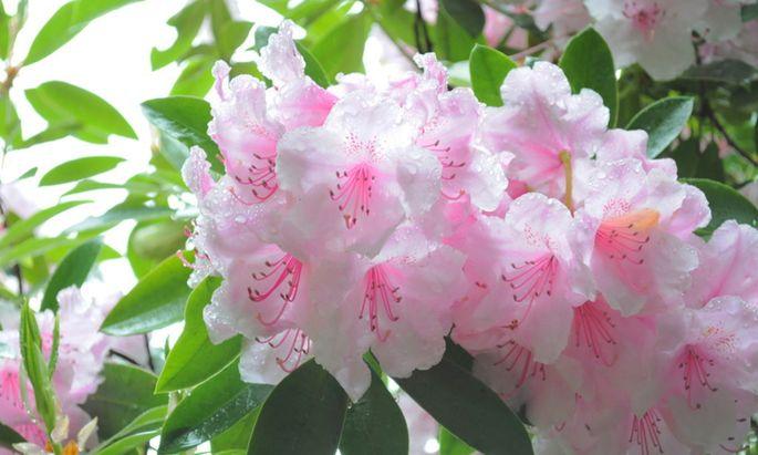 Seit Jahrhunderten durch Kreuzungen veredelt: Rhododendron.