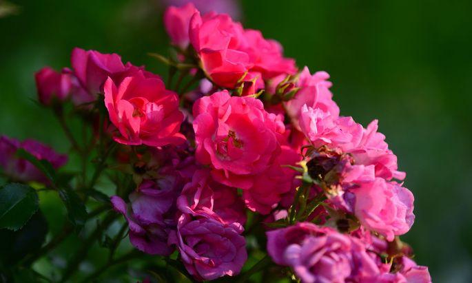 Den Rosenmonat Juni verbringt man am besten nach Möglichkeit im Freien.