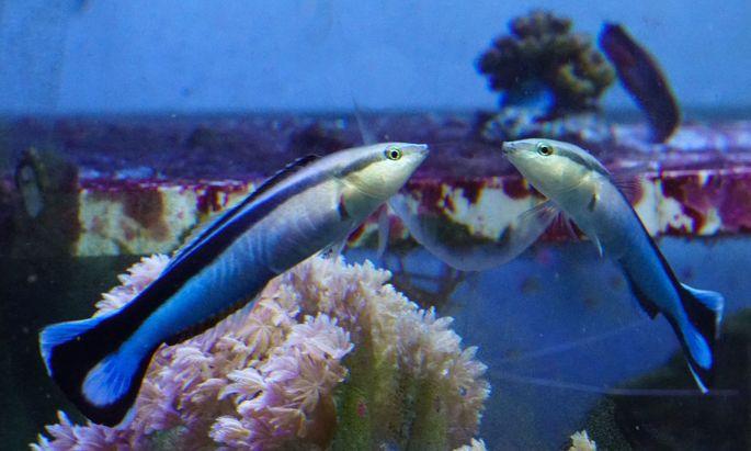 """Der Gemeine Putzerfisch (Labroides dimidiatus) sieht sich im Spiegel. Wirklich """"sich""""?"""