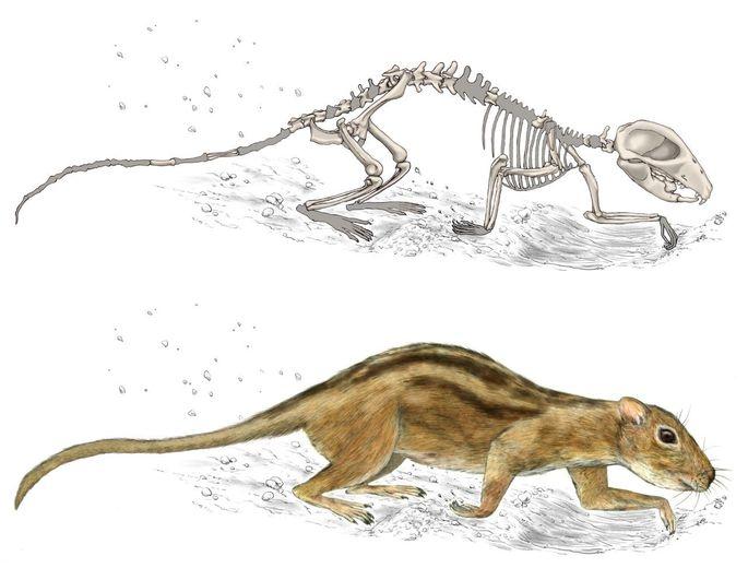 Starke Schultern: Filikomys primaevus, oben als Skelett, unten in einer Zeichnung.