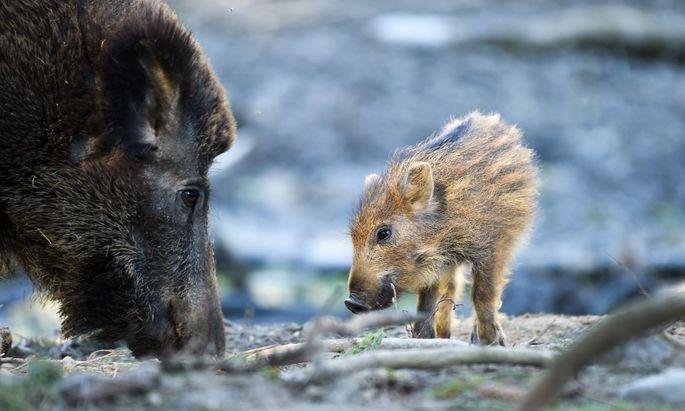 Haben sie genug zu fressen, können sich schon einjährige Wildschweine fortpflanzen.