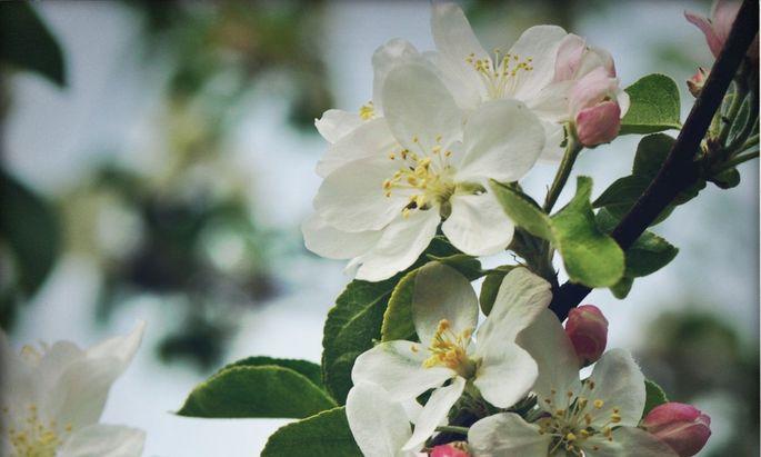 Die Apfelblüte steht bevor.