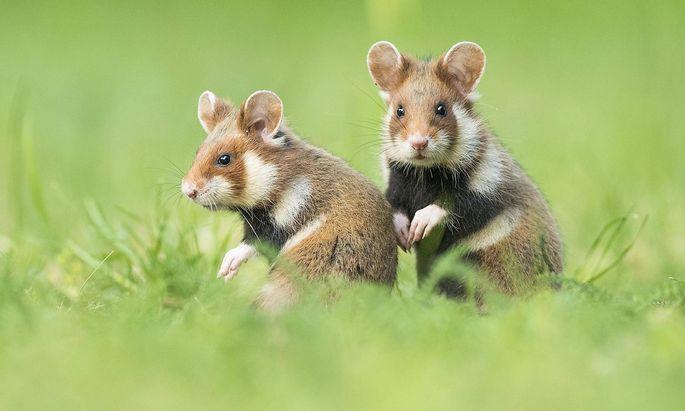 Zwei junge Feldhamster (Cricetus cricetus) sitzen in Wiese, nat�rlicher Lebensraum, Jungtier, Wildtier, Nieder�sterreic